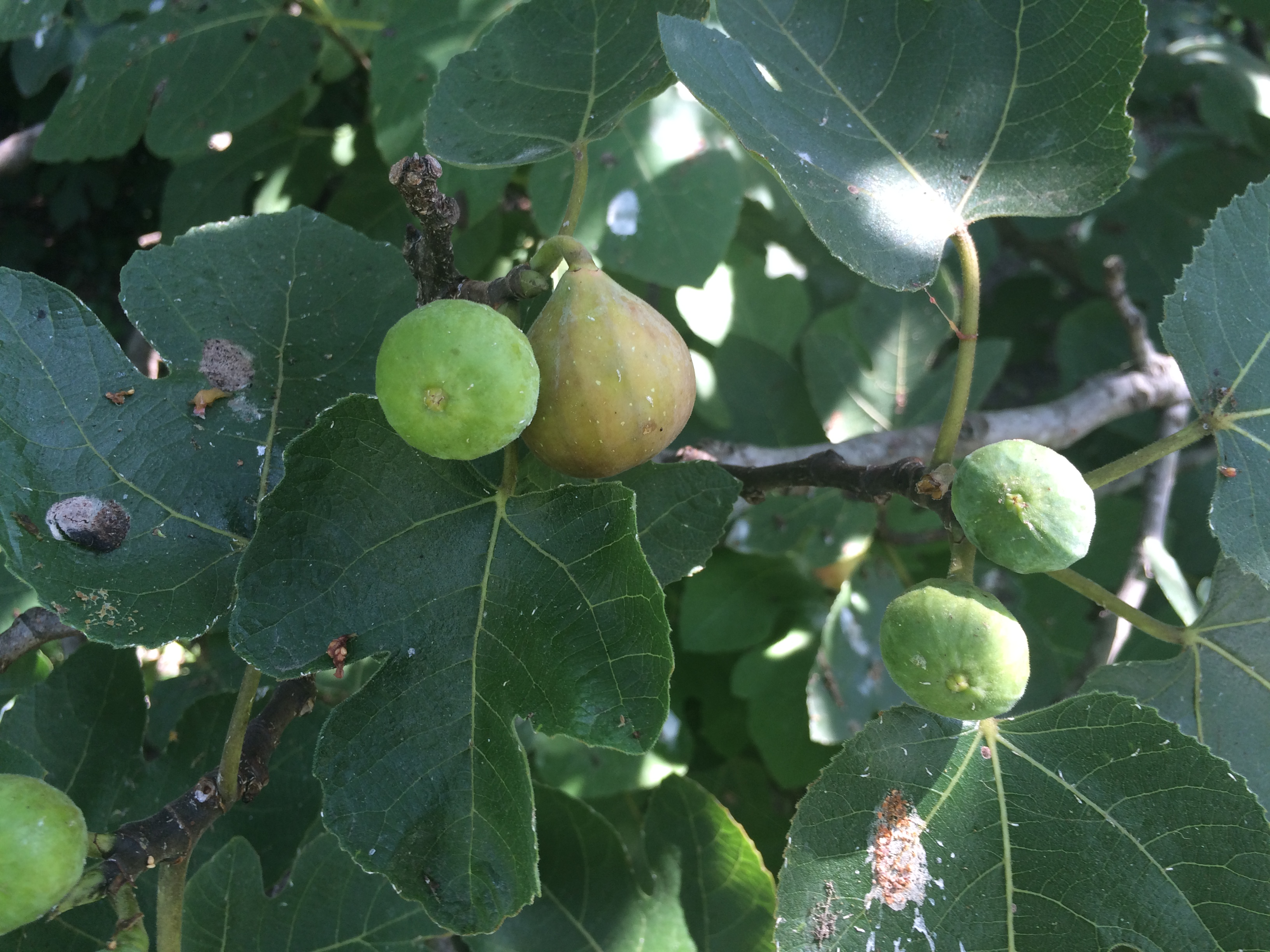 Fresh figs on tree
